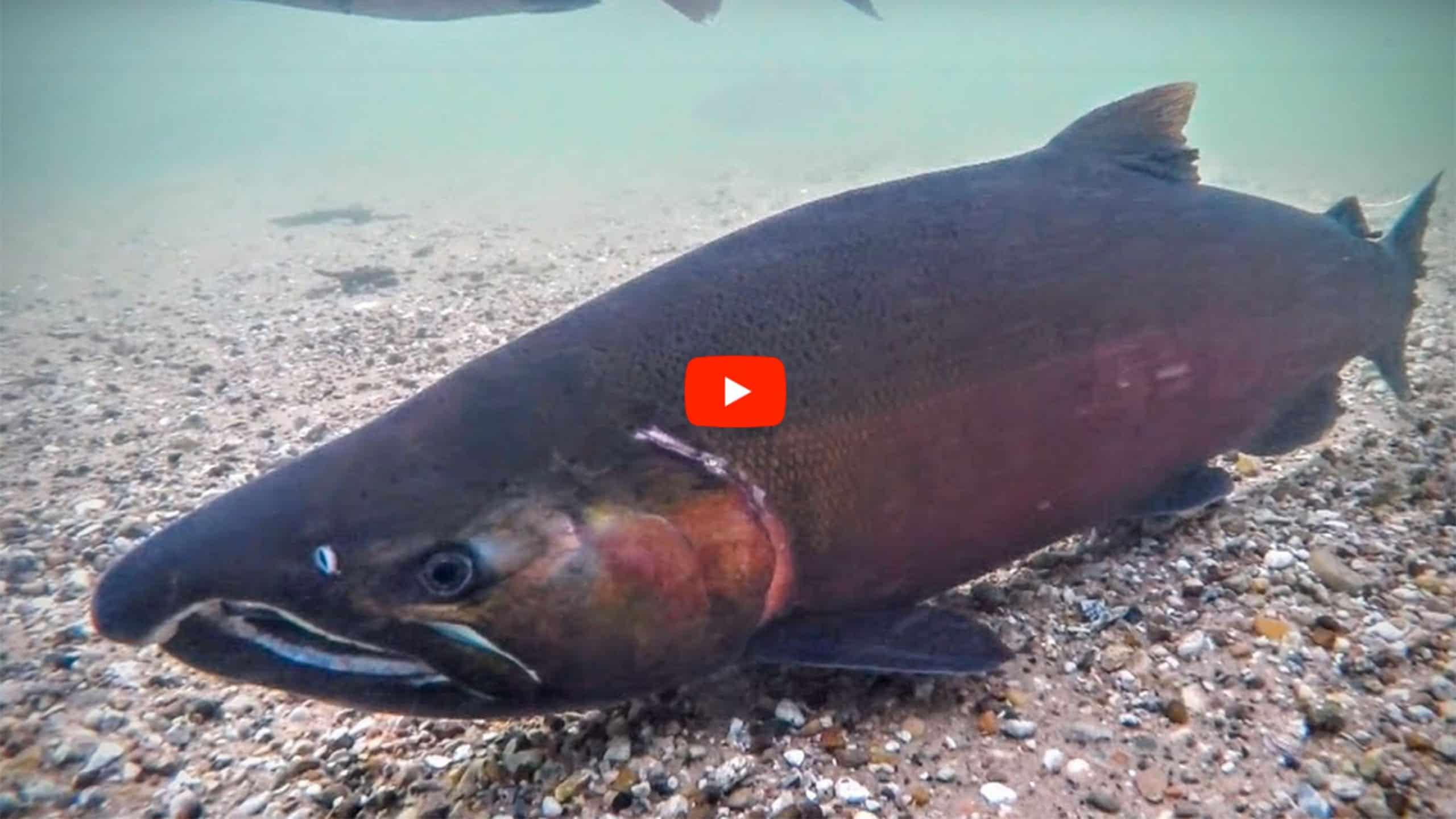 jigging coho salmon