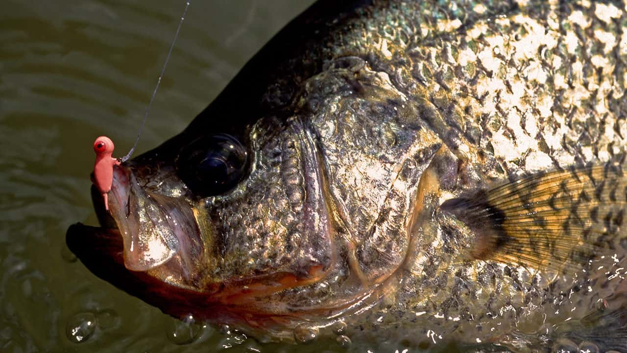 What Is A Panfish